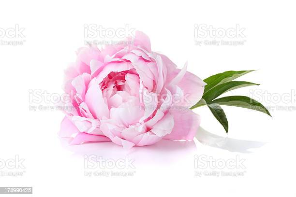 Single pink peony on a white background picture id178990425?b=1&k=6&m=178990425&s=612x612&h=3czie53lgfrbgqbxahmcaolnytsshxkeat4kplptqjw=