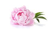 A single pink peony on a white background