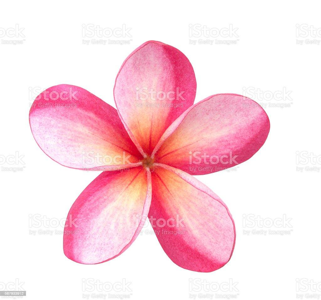 Single Pink Plumeria Flower stock photo
