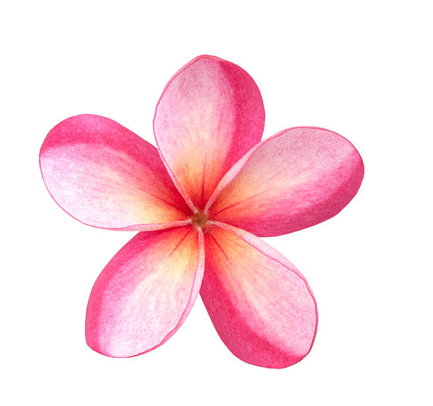 Single Pink Plumeria Flower stock photo