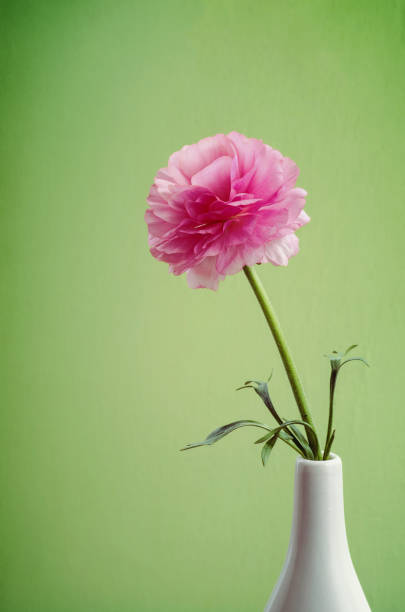 Single Pink Ranunculus in a white vase stock photo