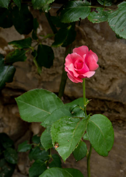 A single pink rose against brick wall stock photo
