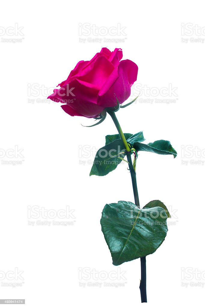 single pink rose  isolated  background stock photo