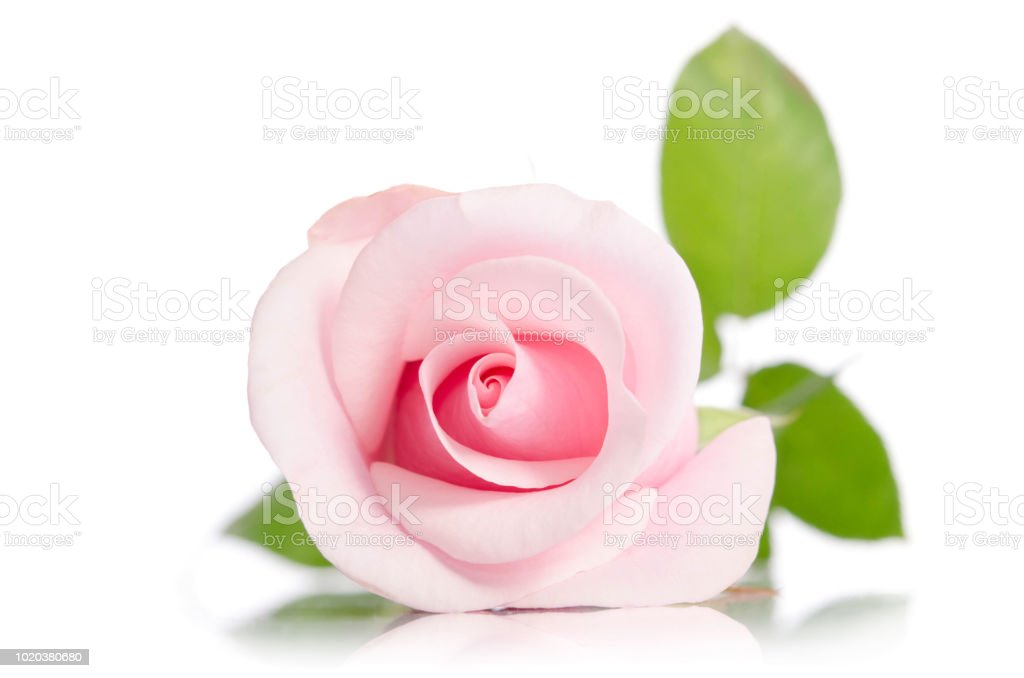 single pink rose isolated on white background stock photo more