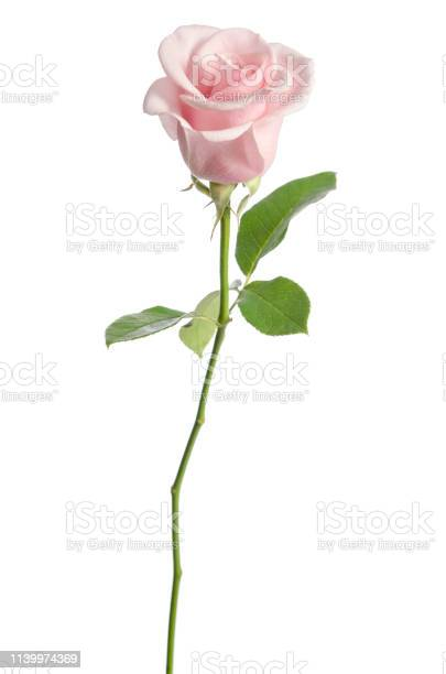 Single pink rose isolated on white background picture id1139974369?b=1&k=6&m=1139974369&s=612x612&h=z0yughtbx5uma85o gimtvcgmvuqw1xs4 dvcev0xcm=