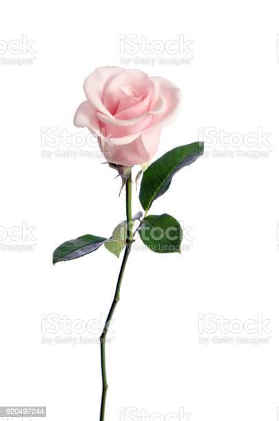Single pink rose isolated on white background picture id920497244?b=1&k=6&m=920497244&s=612x612&h=xqhhrrsxij5 oyz2grmbygzuvdyl78ifhxlyqemjlik=