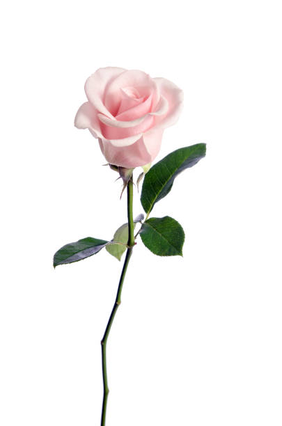 single pink rose isolated on white background stock photo