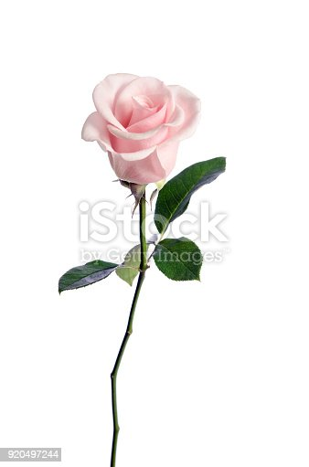 Single Pink Rose Isolated On White Background Stock Photo & More Pictures of Arrangement