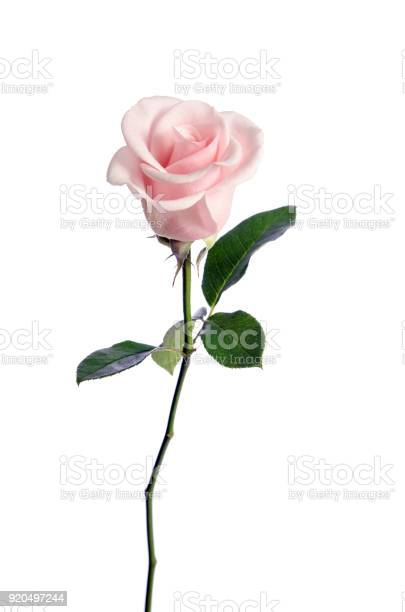 Photo of single pink rose isolated on white background
