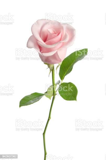 Single pink rose isolated on white background picture id942602362?b=1&k=6&m=942602362&s=612x612&h=y9bpmaeus iot1fupg0v7zlhe 80jqjs2u6bu35xcoq=