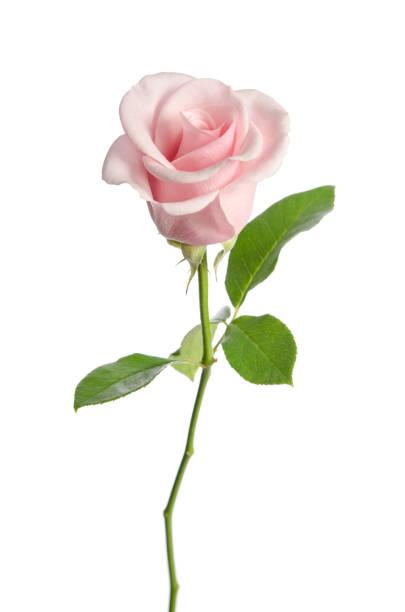 Single pink rose isolated on white background picture id942602362?b=1&k=6&m=942602362&s=612x612&w=0&h=ytf7wbhsitl6t0psirr8cv2hegcetwbw3lyernpatrs=