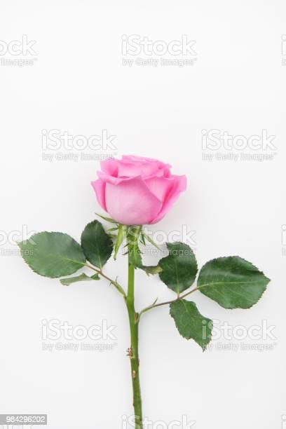 Single pink rose on a white background picture id984296202?b=1&k=6&m=984296202&s=612x612&h=xbbcm7g9khfnuzvw8h0mmfap101mjgpcygggvqe0voq=
