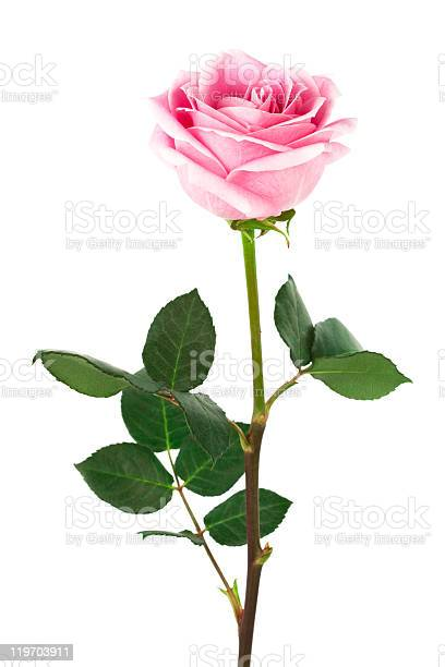 Single pink rose on stem on a white background picture id119703911?b=1&k=6&m=119703911&s=612x612&h=aohbfrmvvqy6nrgwt6 pekvociryr2cufv5prufdlno=