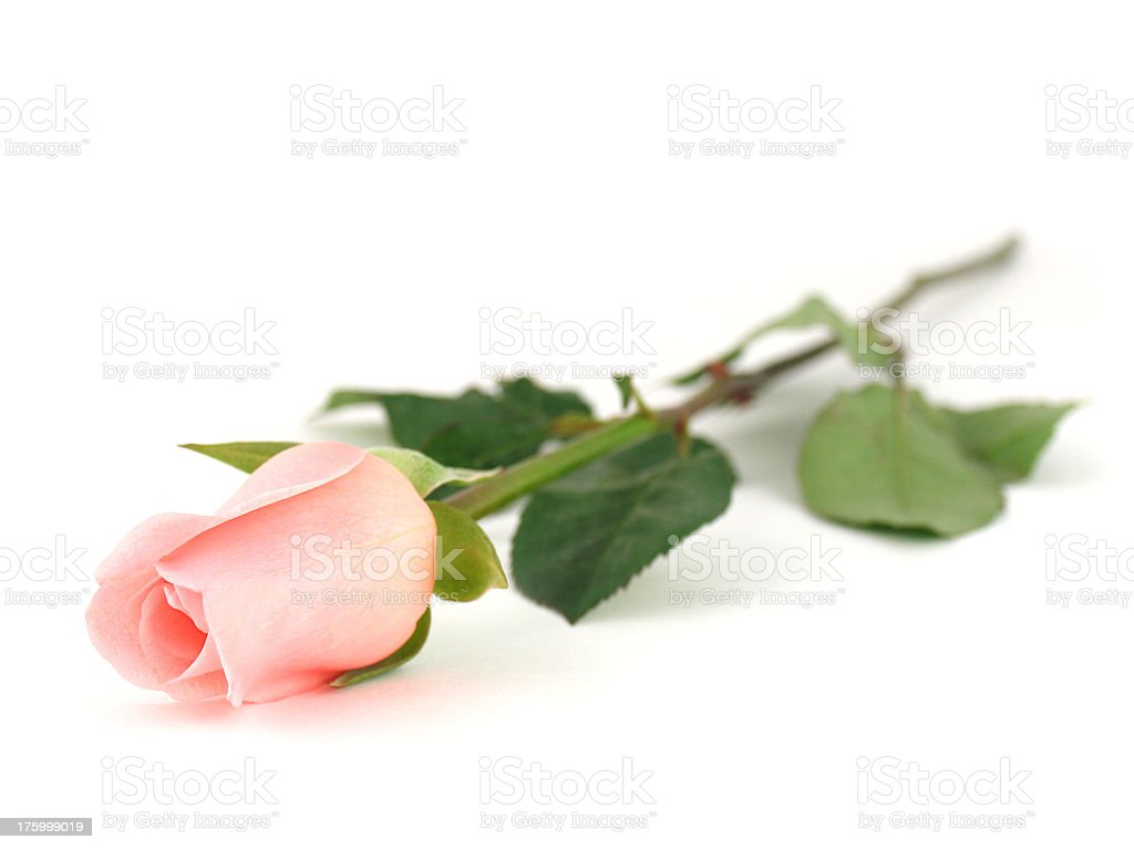 Single Pink Rose Stock Images RoyaltyFree Images