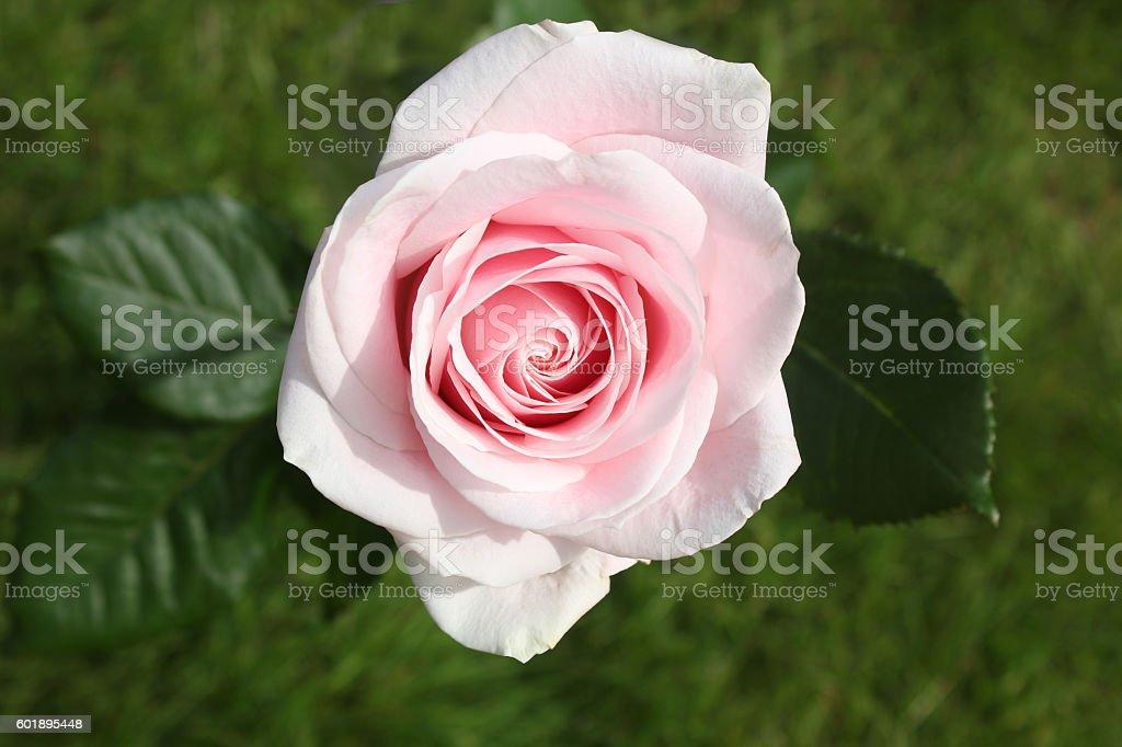 Una pink rose - foto de stock