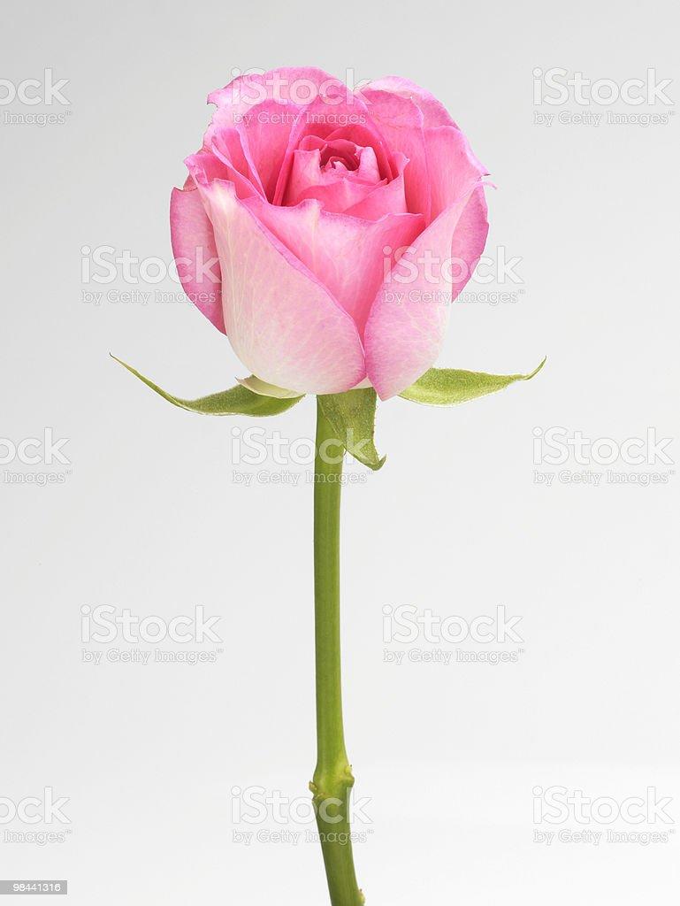 Single pink Rose royalty-free stock photo