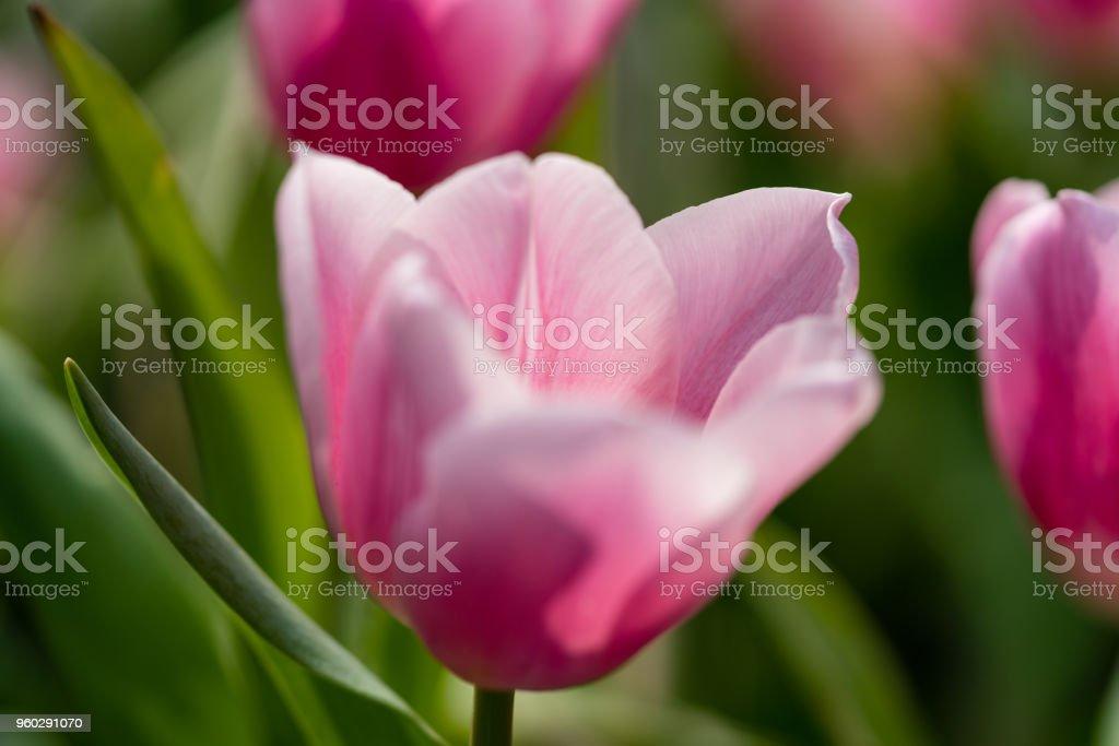single pink tulip blooms under sunlight stock photo