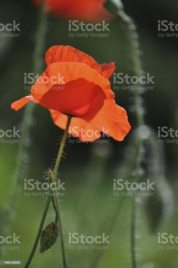 Single poppy flower stock photo