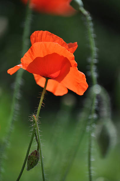Single poppy flower stock photo