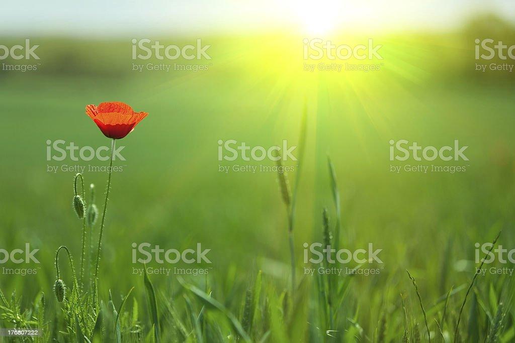 single poppy in sunlight royalty-free stock photo