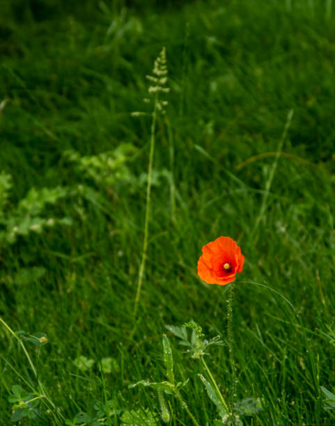 Single poppy in the grass stock photo