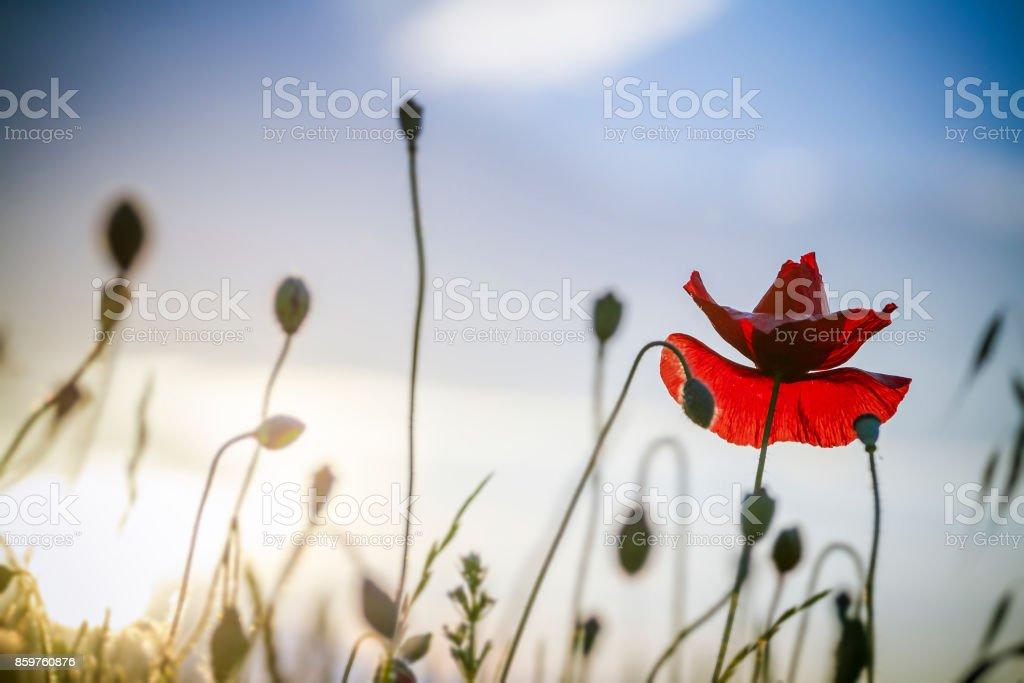 single poppy on blue sky backgound stock photo