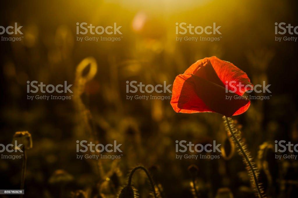 single poppy on dark background stock photo