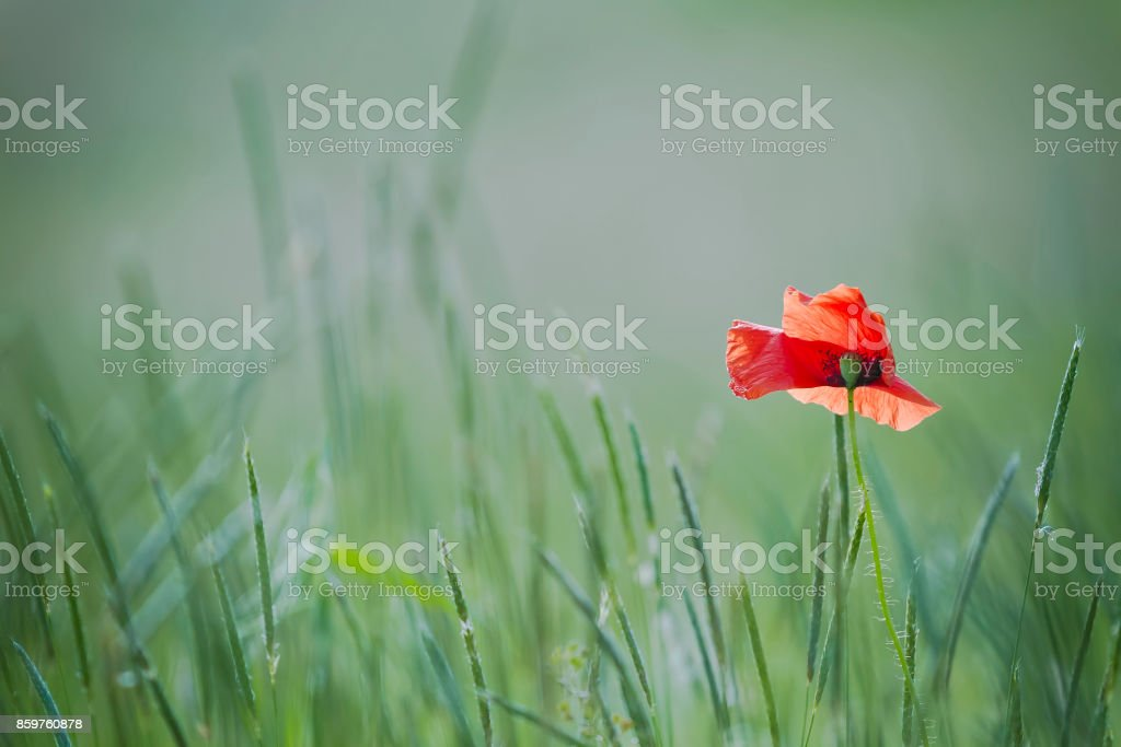 single poppy on green backgound stock photo