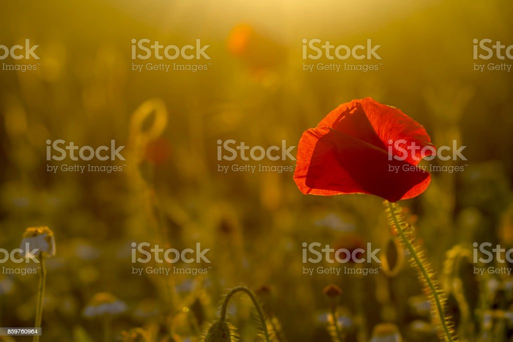 single poppy on green background stock photo
