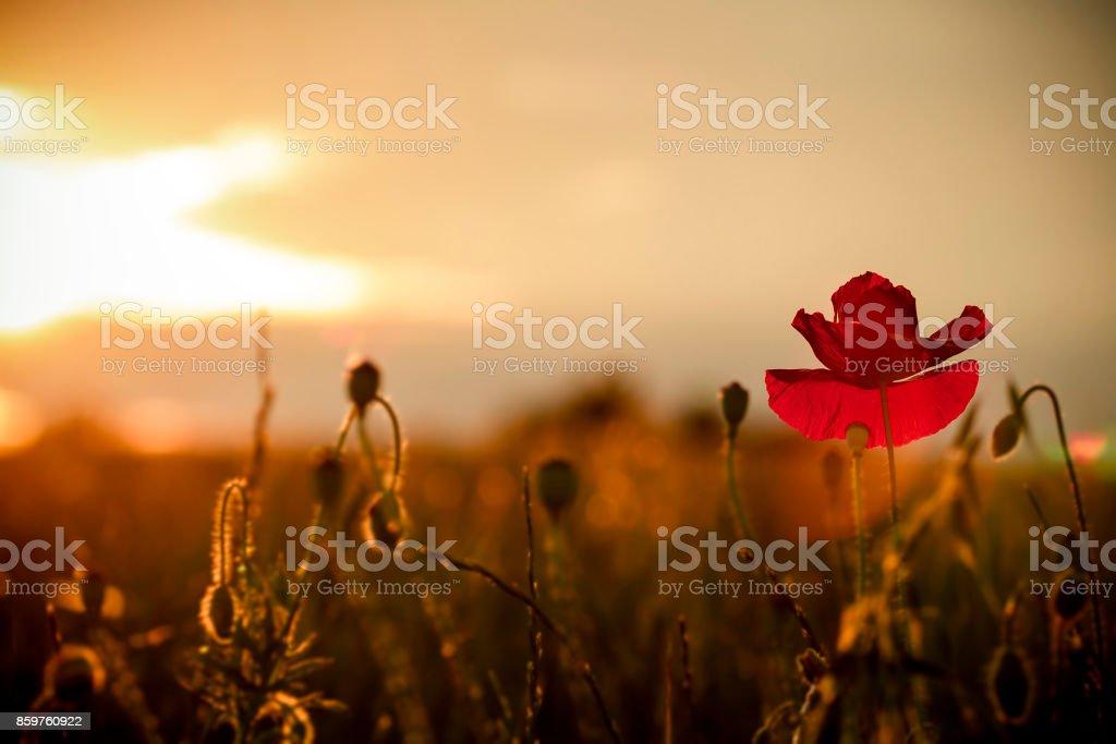 single poppy on red tuned background stock photo