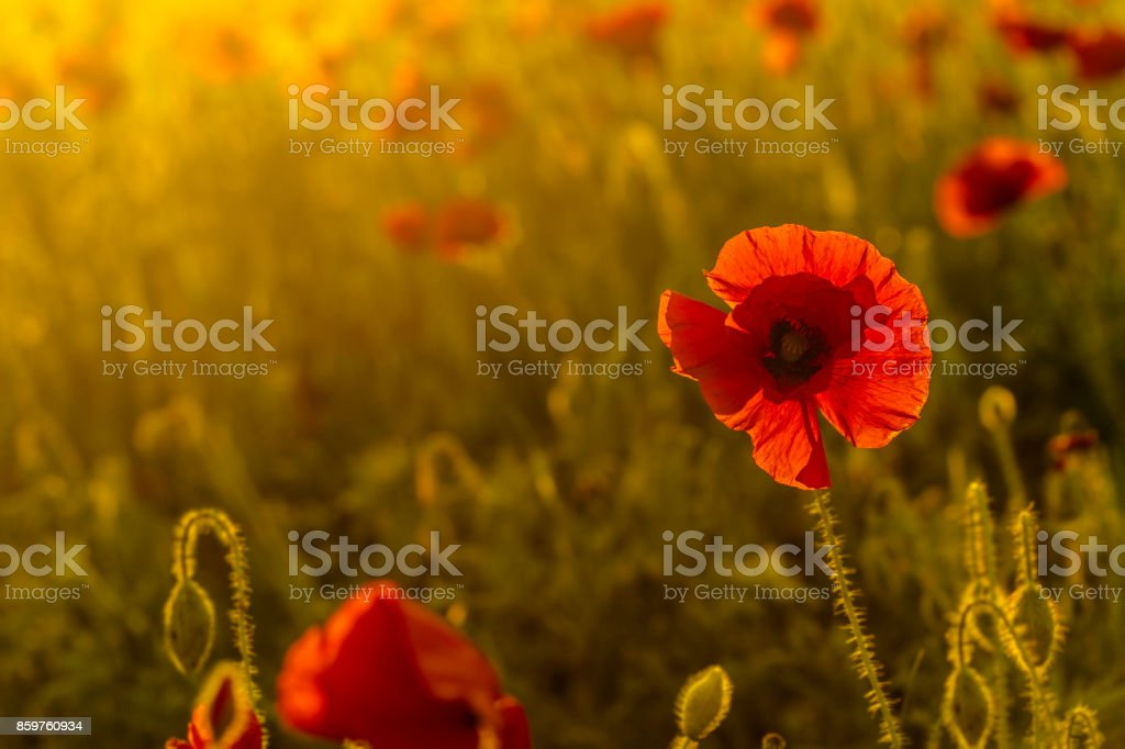 single poppy ot colorful background stock photo