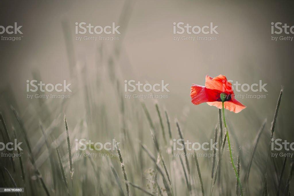 single poppy ot colorless background stock photo