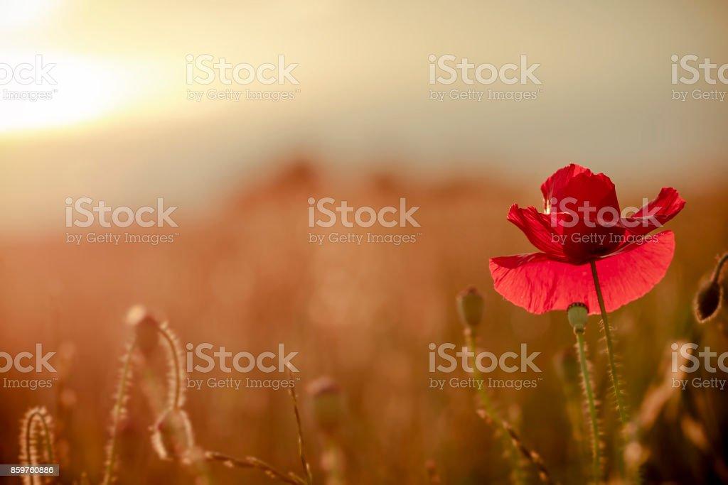 single poppy stock photo