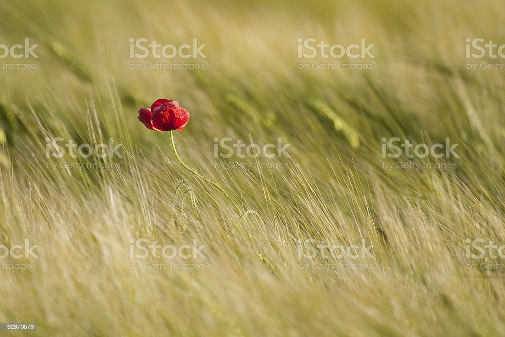 Single poppy royalty-free stock photo