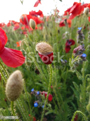 A poppy flower yet to unfurl, Cornwall, in summer