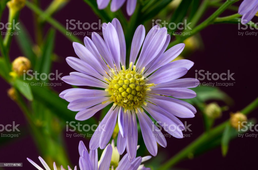 Single Purple Aster Flower stock photo