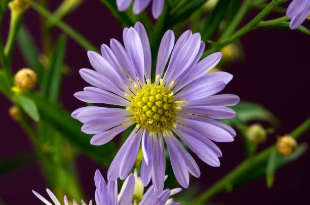Single Purple Aster Flower stock photo