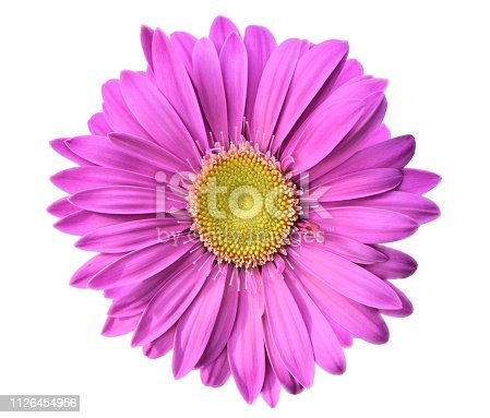 A single bright purple chrysanthemum flower with yellow center cut out on a white background.