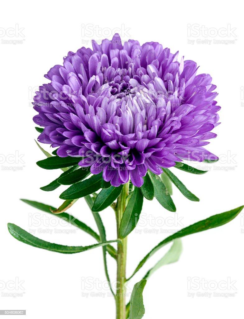 Single purple chrysanthemum on white background stock photo