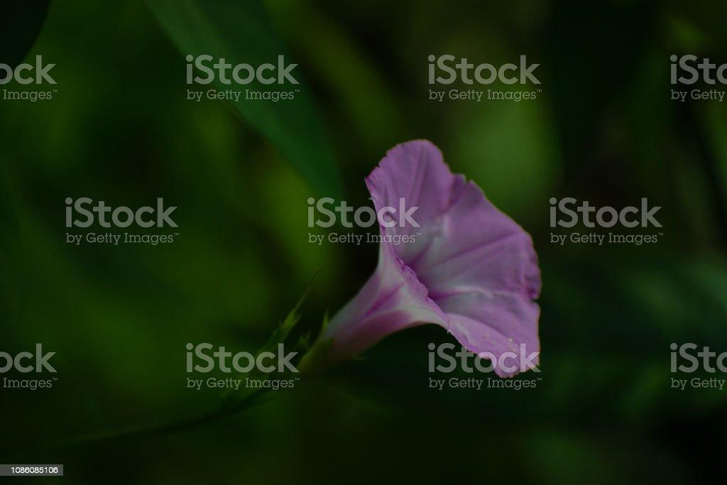 Flor única ipomeia púrpura - foto de acervo