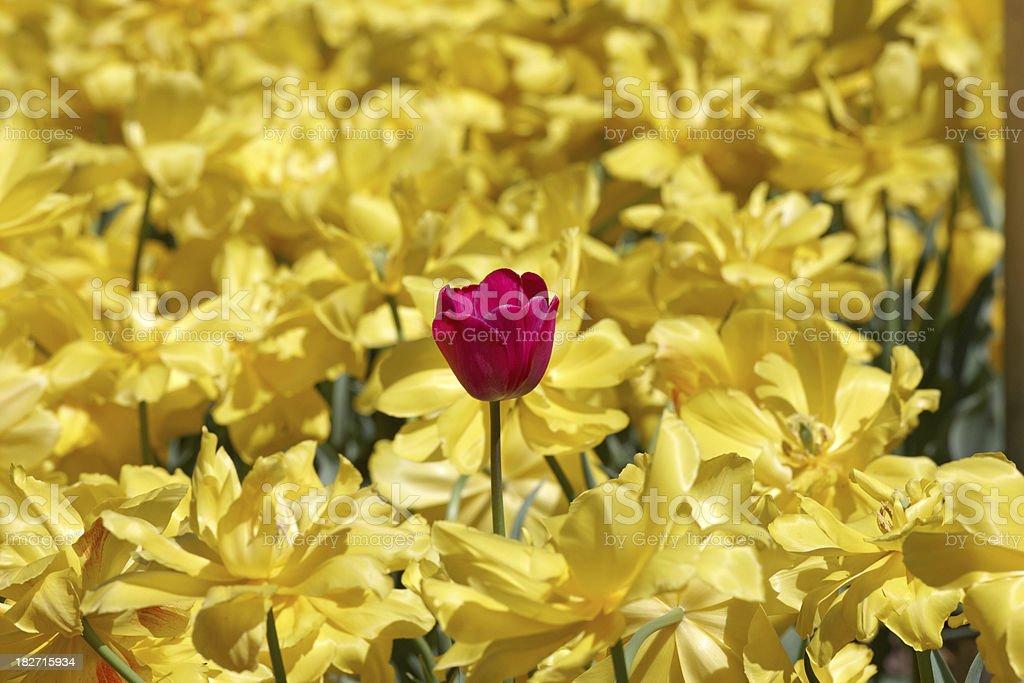 single purple tulip in field of yellow daffodils royalty-free stock photo