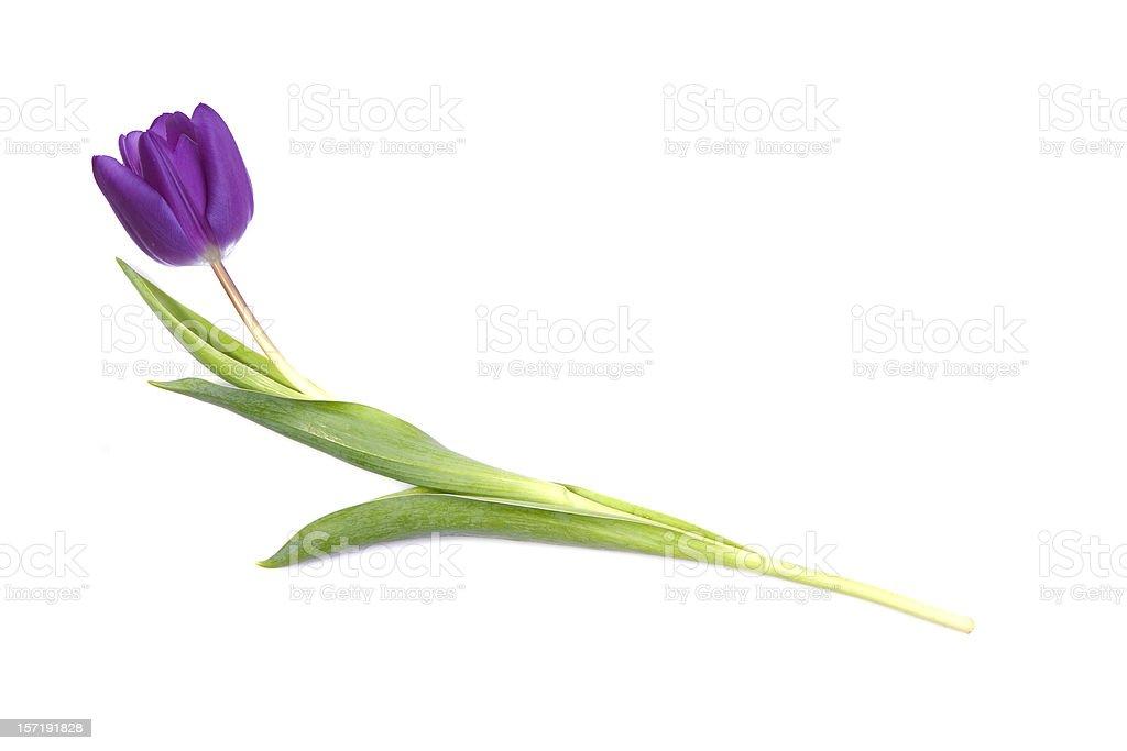 Single purple tulip stock photo