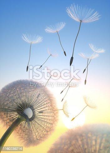 Pusteblume mit fliegenden Samen im Sonnenlicht bei Sonnenaufgang