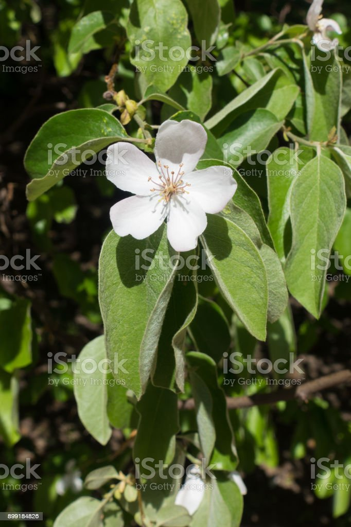 Single quince flower and green pubescent leaves stock photo