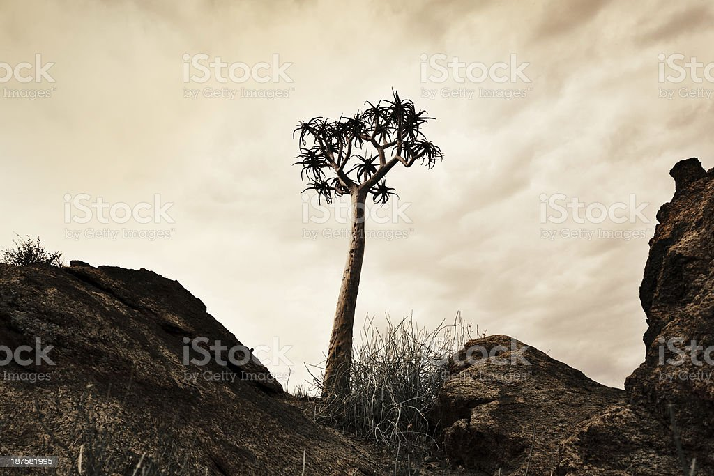 Single Quiver tree in desert on a rare cloudy day royalty-free stock photo