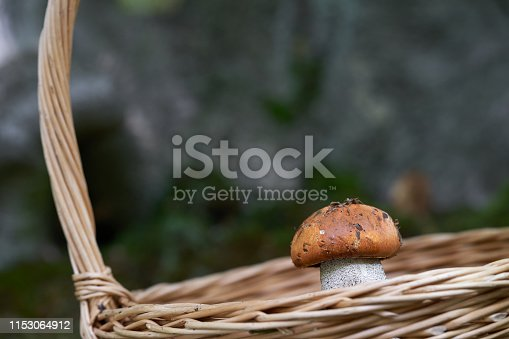 Single red and white edible mushroom Leccinum versipelle.