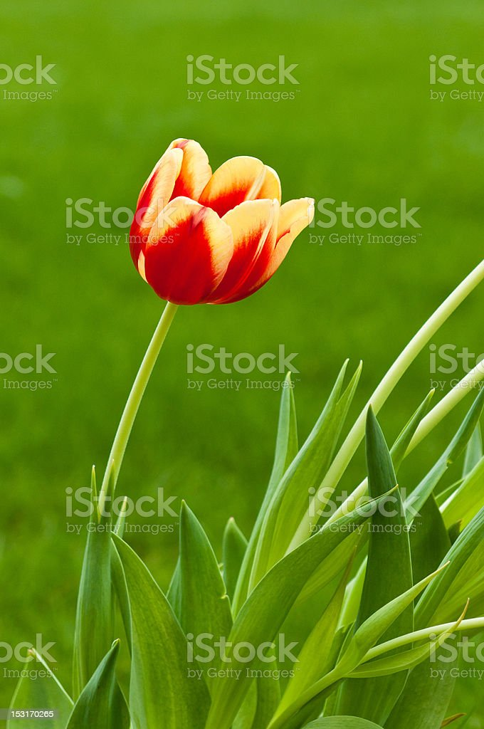 Single red and yellow tulip on green background stock photo
