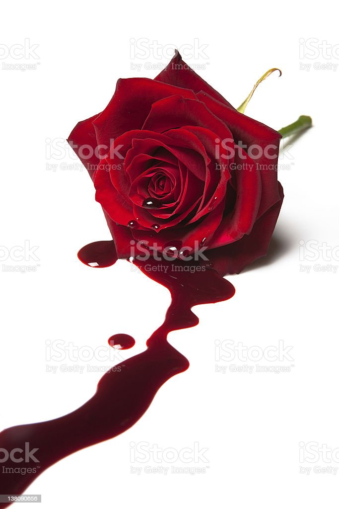 A single red bleeding rose isolated on a white background stock photo