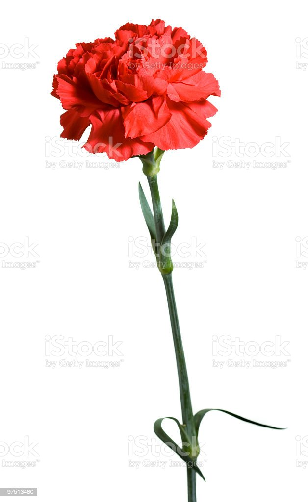 Single Red Carnation flower head extreme close-up on white background royalty-free stock photo