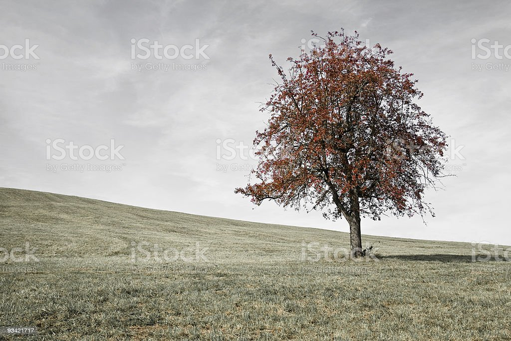 single red fall tree on meadow royalty-free stock photo